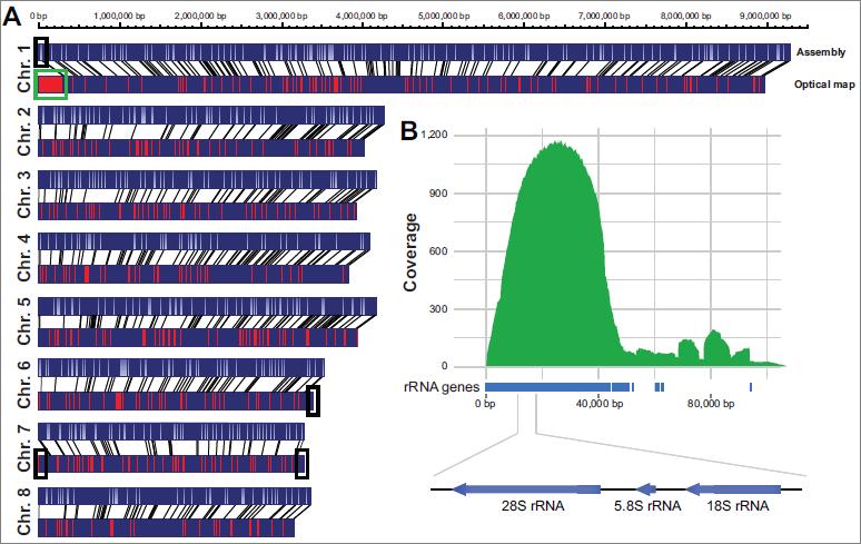无gap的V. dahliae strain JR2基因组.png